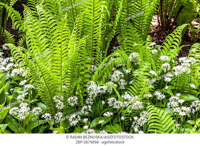 Matteuccia struthiopteris, ostrich fern, fiddlehead fern or shuttlecock fern, and Allium ursinum wood garlic, plants for the shady parts of the garden