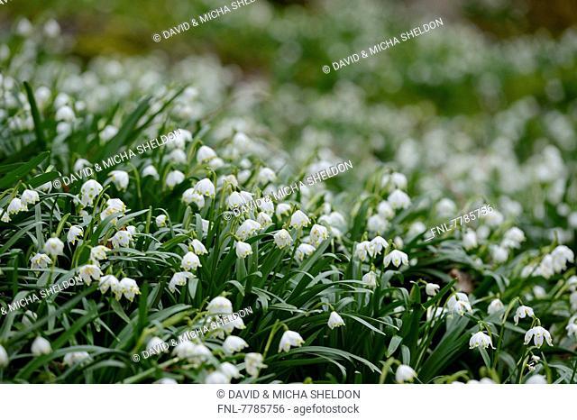 Headline: Snowflakes, Leucojum vernum, Upper Palatinate, Bavaria, Germany, Europe