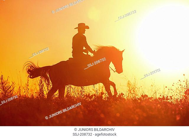 American Quarter Horse. Rider on Western Horse in gallop, silhouetted against a colorful evening sky. Italy