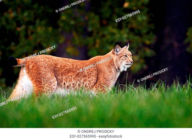 Lynx walking in the green grass. Wild cat Lynx in the nature