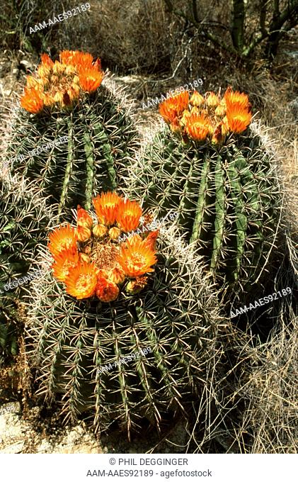 Barrel Cactus Trio (Ferocactus wislizeni) Arizona