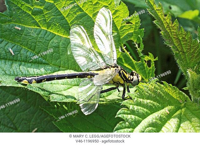Emerging Common Clubtail, Gomphus vulgatissimus on nettle  From above side  The damaged upper right wing does nt extend level with body  Upper right wing is...