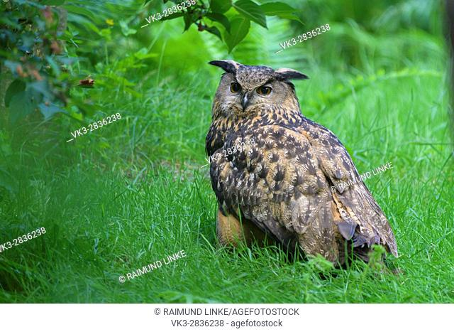 Eagle Owl, Bubo bubo, Germany, Europe