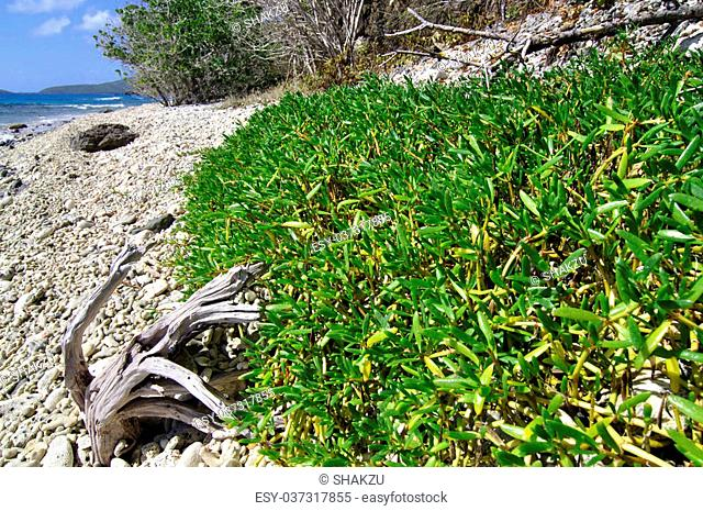 Beautiful green sea purslane plant growing on tropical Caribbean island beach