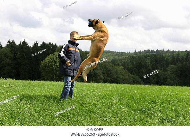 Malinois Canis lupus f. familiaris, with a boy in a meadow, jumping after a ball