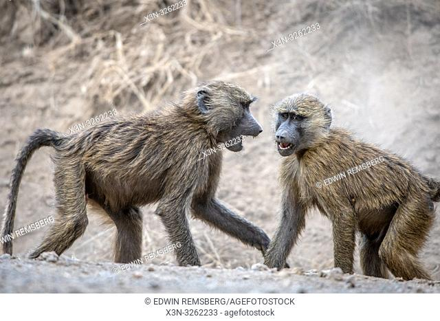 Two Olive baboons (Papio anubis), also called the Anubis baboon, Nakuru National Park, Kenya Nakuru National Park,