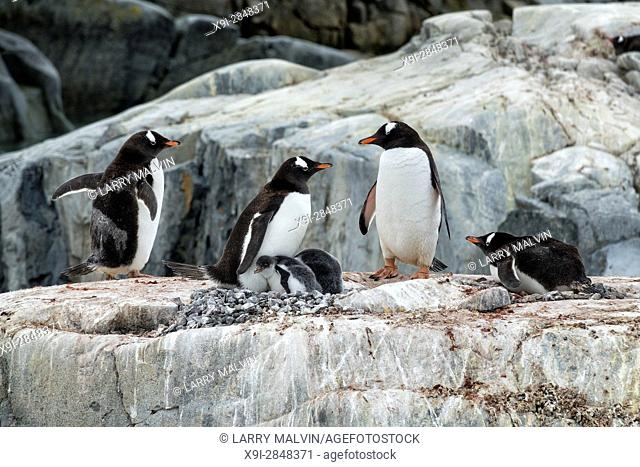 A group of gentoo penguins with two chicks stand upon a rocky outcropping on Petermann Island along the Antarctic Peninsula
