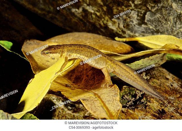 Palmate newt (Triturus helveticus) female. Lagoon. Laguna de Rubillon. Sierra do Suido. Galicia. Spain. Europe