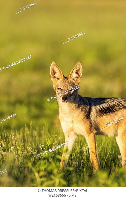Black-backed Jackal (Canis mesomelas). During the rainy season in green surroundings. Kalahari Desert, Kgalagadi Transfrontier Park, South Africa