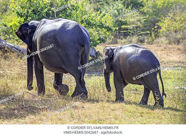 Sri Lanka, Yala national patk, Sri lankan elephant (Elephas maximus maximus), drinking