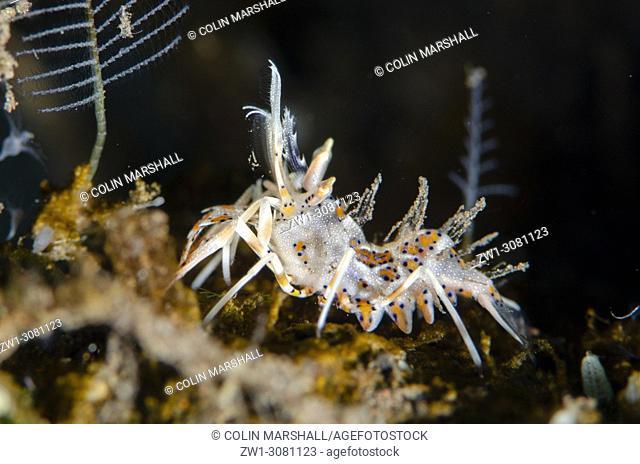 Colorful Tiger Shrimp (Phyllognathia ceratophthalmus, Hymenoceridae family), Pong Pong dive site, Seraya, near Tulamben, east Bali, Indonesia