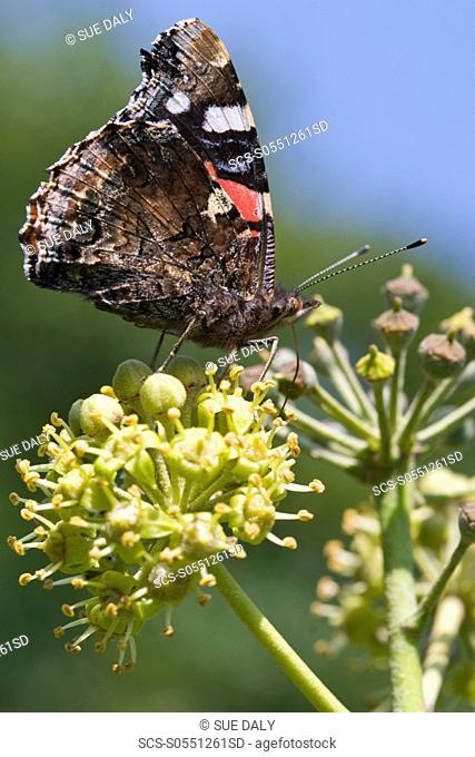 Red Admiral Butterfly vanessa atalanta Sark, British Channel Islands, UK
