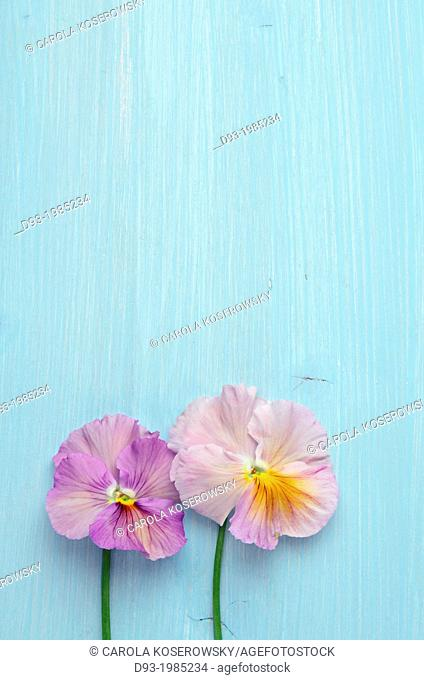 Beautyful Pansies on a Wooden table