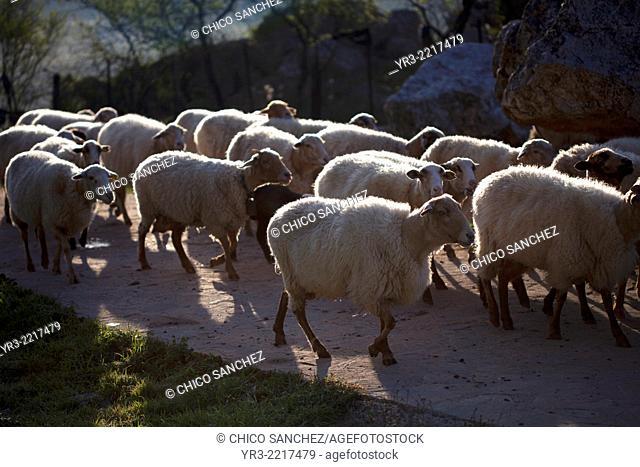 A flock of sheep walk in a road in Villaluenga del Rosario, in the Sierra de Grazalema National Park, Cadiz province, Andalusia, Spain