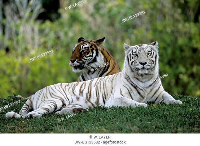 Bengal tiger (Panthera tigris tigris), two individuals of different colours