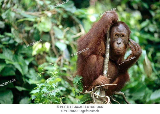 Orang-Utan (Pongo pygmaeus) sitting in the forest and looking at camera. Sabah. Borneo, Malaysia