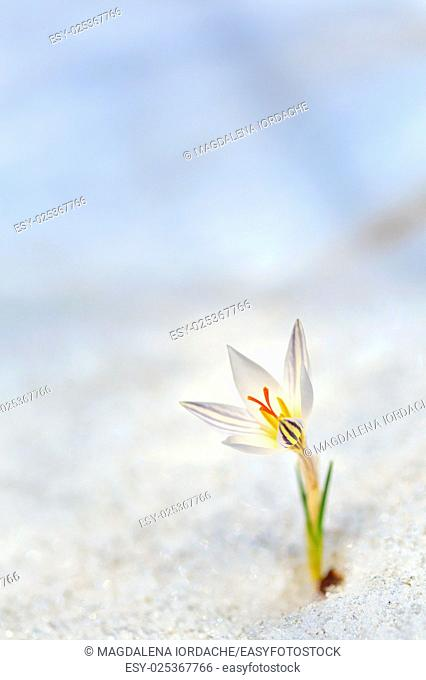Spring crocus flowers in the snow