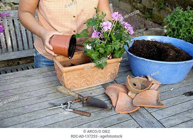 Woman planting Geranium in flowerpot Pelargonium hybride