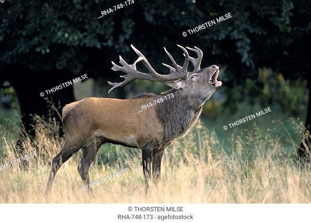 Red Deer, Cervus elaphus, Kopenhagen, Denmark