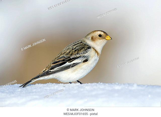 Portrait of Snow bunting in winter