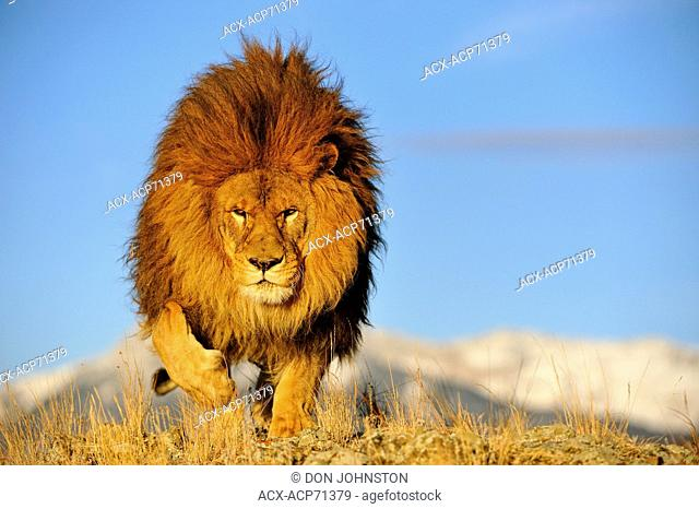 African lion (Panthera leo) Barbary lion extirpated in the wild Captive, Bozeman, Montana, USA