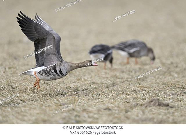 White-fronted Goose( Anser albifrons ), taking off from a stubble field with to feeding geese in the background, wildlife, Europe