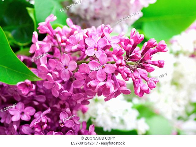 branch of lilac closeup