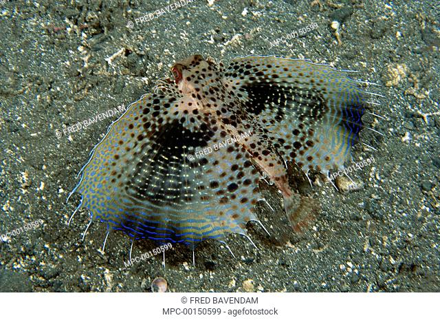 Oriental Flying Gurnard (Dactyloptena orientalis) swimming over ocean bottom with fins outstretched to confuse predators, Milne Bay, Papua New Guinea