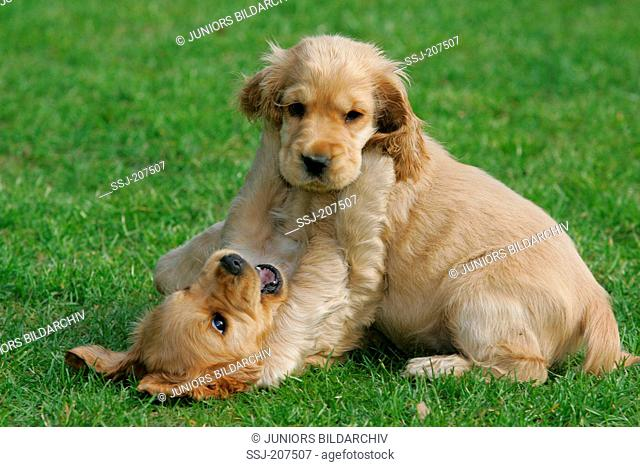 English Cocker Spaniel. Two puppies playing on a lawn. Germany