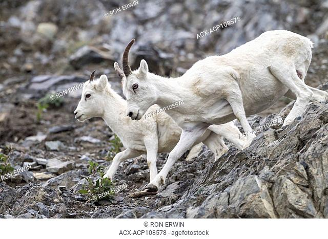Female Dall Sheep (Ovis dalli dalli) and lambs, Kluane National Park and Reserve, Yukon, Canada
