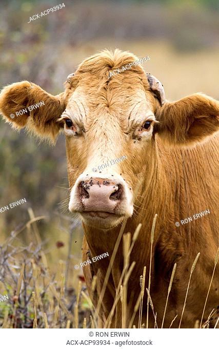 Red Angus cross cow, Barrie Island, Ontario