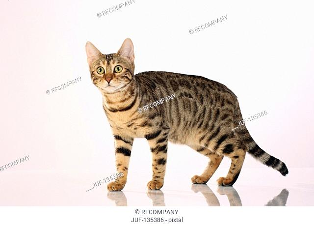 Bengal cat - standing - cut out