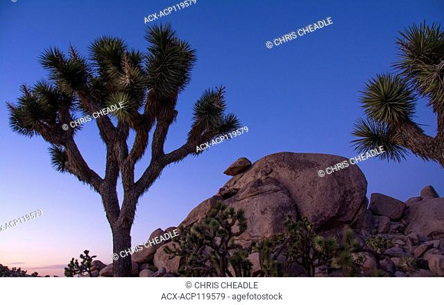 Joshua trees, yucca palm, tree yucca, and palm tree yucca, Yucca brevifolia, Joshua Tree National Park, California, USA