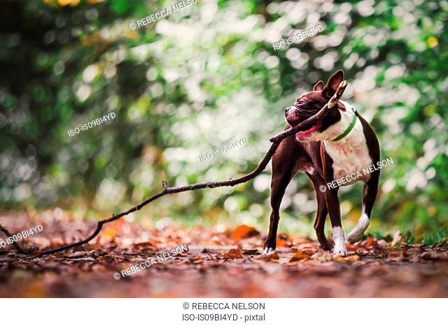 Boston terrier in rural setting, carrying large stick in mouth