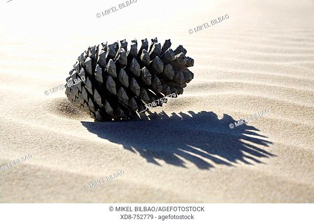 Pine cone over the sand