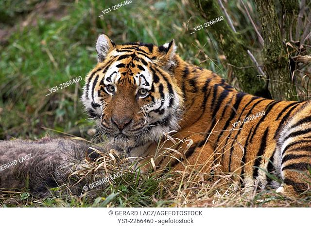Siberian Tiger, panthera tigris altaica, with a Kill, a Wild Boar