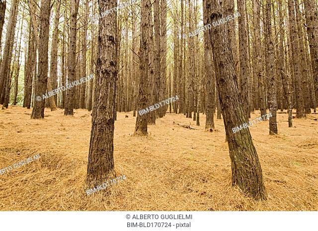 Bare trees growing in dry forest