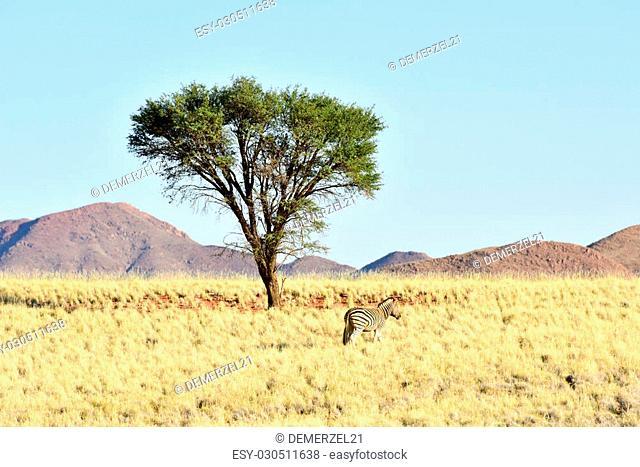 Zebras in the desert landscape of the NamibRand Nature Reserve in Namibia