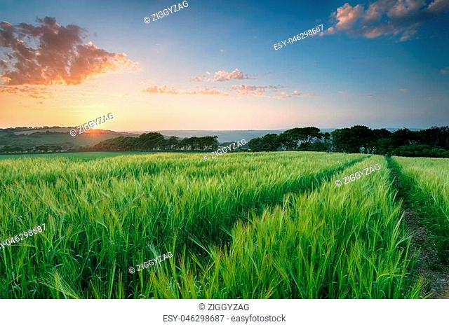 Beuatiful sunset over a field of lush barley growing in Cornwall