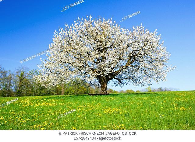blooming cherry tree, Switzerland