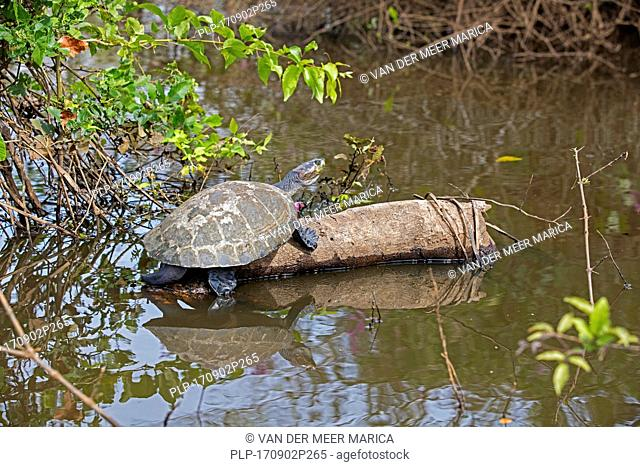 Yellow-spotted Amazon river turtle / yellow-spotted river turtle (Podocnemis unifilis) resting on log in river, native to South America's Amazon Basin