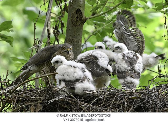 Sparrowhawk ( Accipiter nisus ), adult female, feeding its offspring, five moulting chicks in their nest, wildlife, Europe