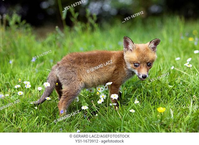 Red Fox, vulpes vulpes, Cub standing in Flowers, Normandy