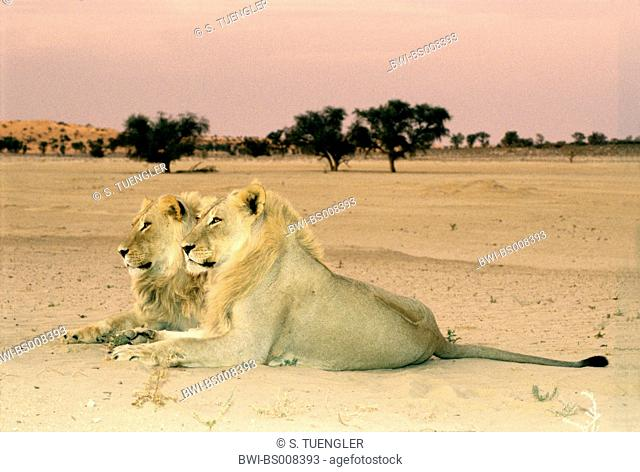lion (Panthera leo), two brothers, resting in evenig light, South Africa, Kgalagadi Transfrontier NP