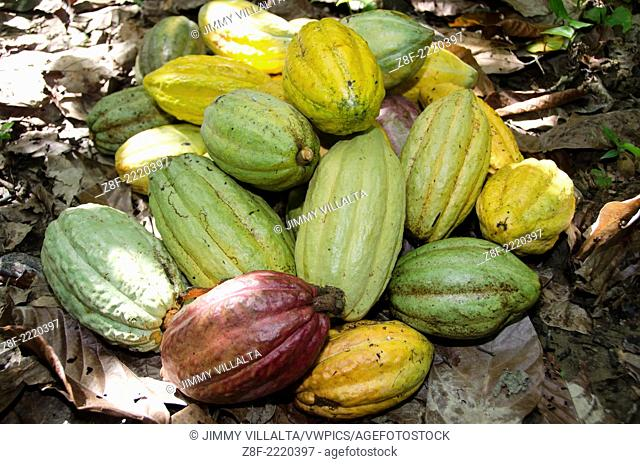 Cacao pods. Native to the deep tropical regions of Central and South America. Its seeds, cocoa beans, are used to make cocoa mass, cocoa powder, and chocolate