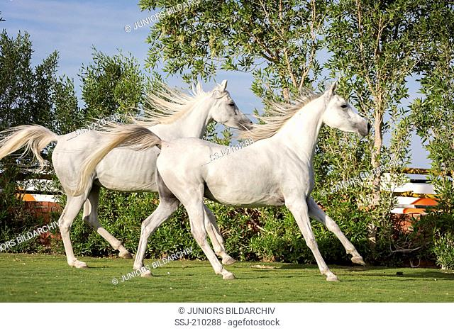 Arabian Horse. Pair of young gray mares galloping on a lawn. Egypt