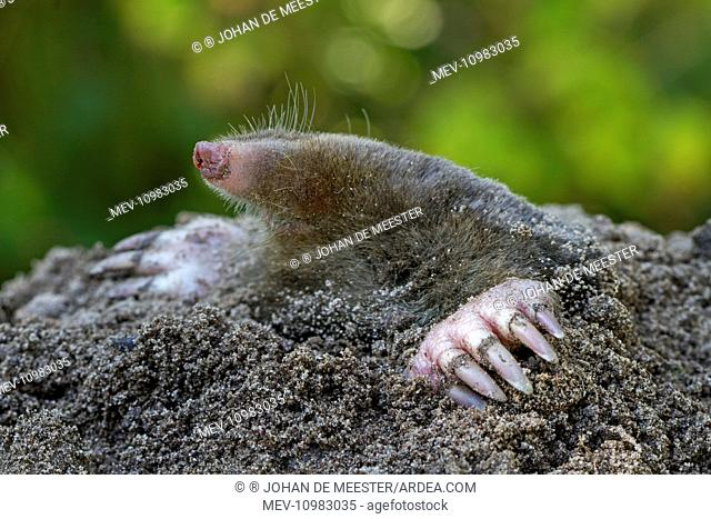 European Mole emerging from ground (Talpa europaea)