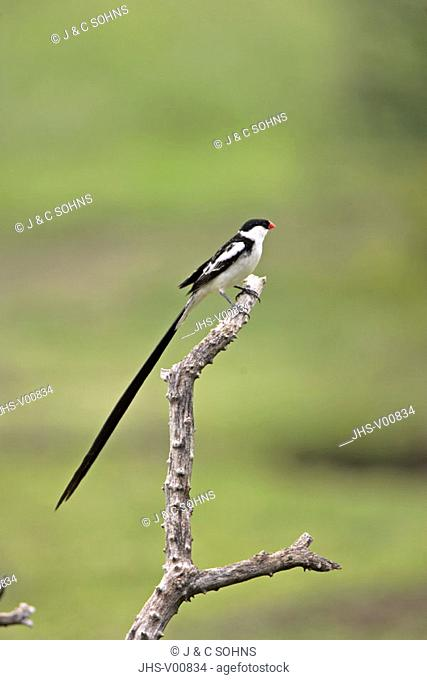 Pintailed Whydah, Vidua macroura, Sabie Sand Game Reserve, South Africa , Africa, adult male on tree