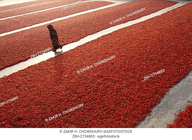 GAIBANDHA, BANGLADESH - FEBRUARY 23 : Women processing and drying red chilli uner sun near Jamuna river 240 kms north-west of Dhaka in Gaibandha