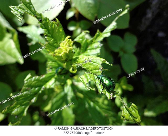 Beetle (Chrysolina herbacea). Catalonia, Spain